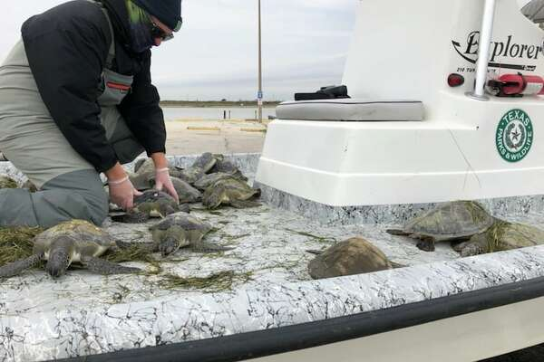 Texas Parks and Wildlife Coastal Fisheries rescue cold-stunned sea turtles that were stranded in Texas waters due to the recent cold temperatures.