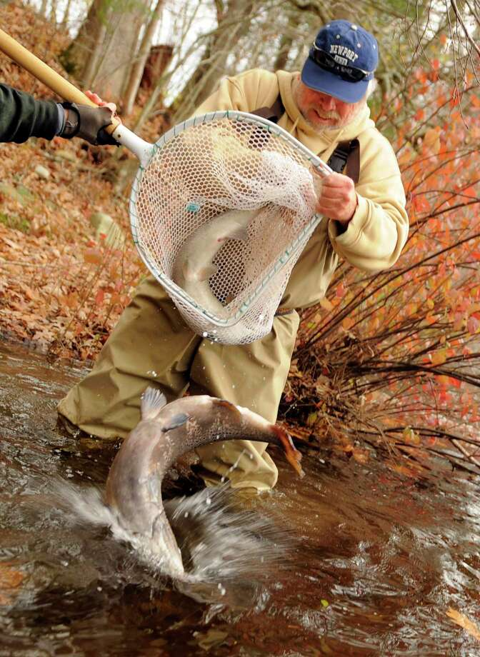 File photo: Dale Williams, a volunteer from Trout Unlimited, helps staff from the Connecticut Department of Environmental Protection Inland Fisheries Division stock Atlantic salmon into the Shetucket River in Sprague, Conn., on Tuesday, Nov. 9, 2010. Photo: Associated Press / The Day, Sean D. Elliot / 2010 The Day Publishing Co.