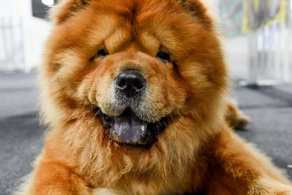 MANCHESTER, ENGLAND - OCTOBER 06: Luther the Chow Chow at the Family Pet Show at Event City on October 6, 2018 in Manchester, England. (Photo by Shirlaine Forrest/Getty Images)