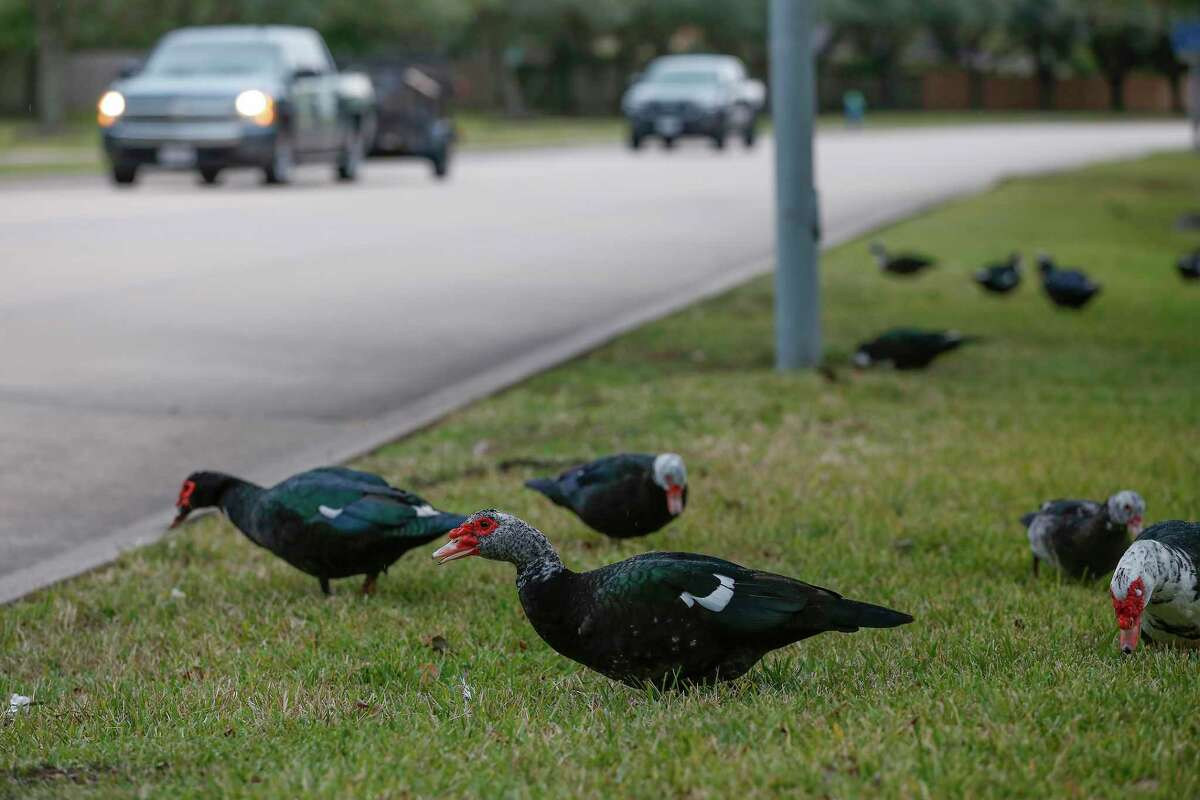 Ducks prepare to cross Northfork Drive Wednesday, Nov. 13, 2019, in Pearland. Pearlanders are up in arms over ducks some say are cute and others can't stand.