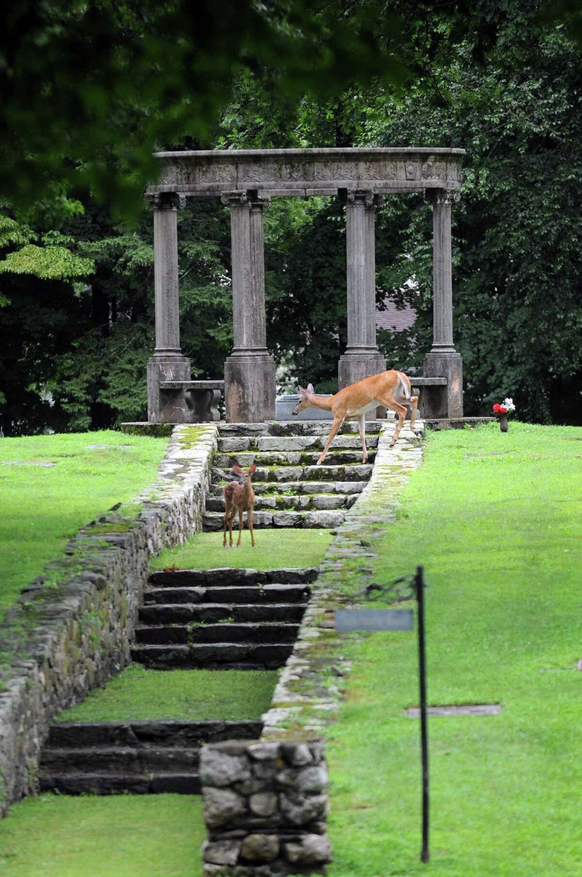 A family of deer graze on Sanctuary Knoll at the Fairfield Memorial Park in Stamford on July 18.