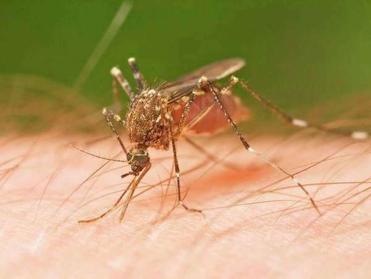 Cold weather has ended this year's mosquito season and with it the threat of a deadly mosquito-borne virus, equine encephalitis virus.(File Photo)