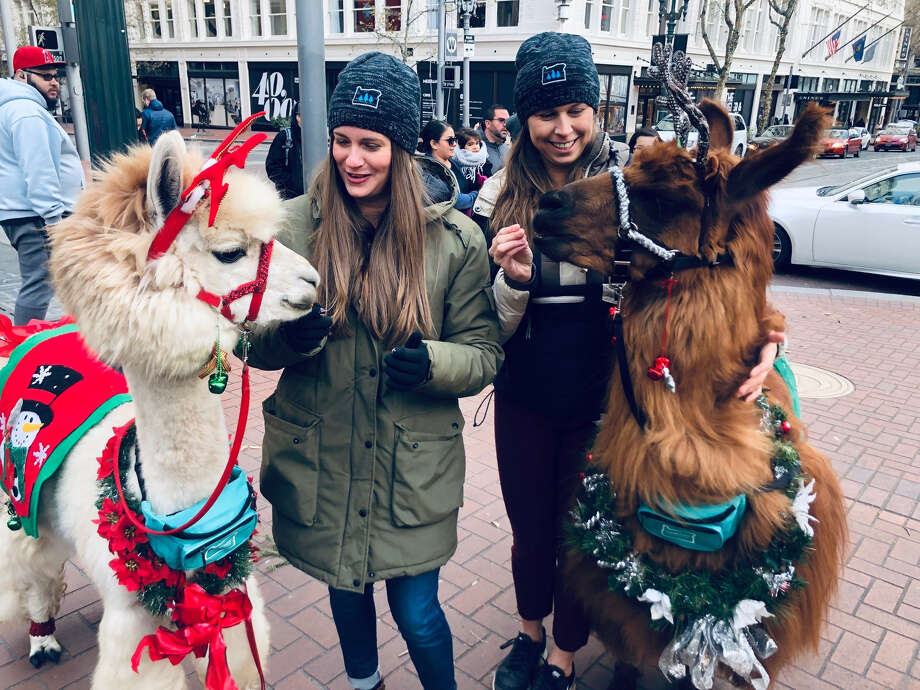 Napoleon, left, an alpaca, and Rojo, a llama, are therapy animals at the nonprofit Mountain Peaks Therapy Llamas & Alpacas. Photo: Photo Handout Courtesy Of Kimpton Hotels / Handout