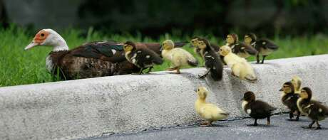 Muscovy ducklings scramble up a curb as they follow their mother while foraging for food. The duck species is considered invasive in most of Texas.