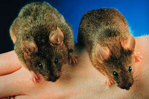 """Dr. Se-Jin Lee's """"mighty Mice,"""" genetically engineered to have more muscle mass than normal mice. The procedure, in which myostatin is inhibited allowing more muscle to develop, has also been performed on cattle."""