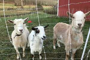 Paddy, Nelly and Blanche are three of the 12 goats from Happy Acres Farm that have found new homes.