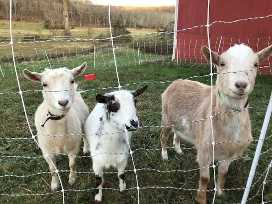 Paddy, Nelly and Blanche are three of the 12 goats from Happy Acres Farm that have found new homes. Photo: Facebook / Happy Acres Farm
