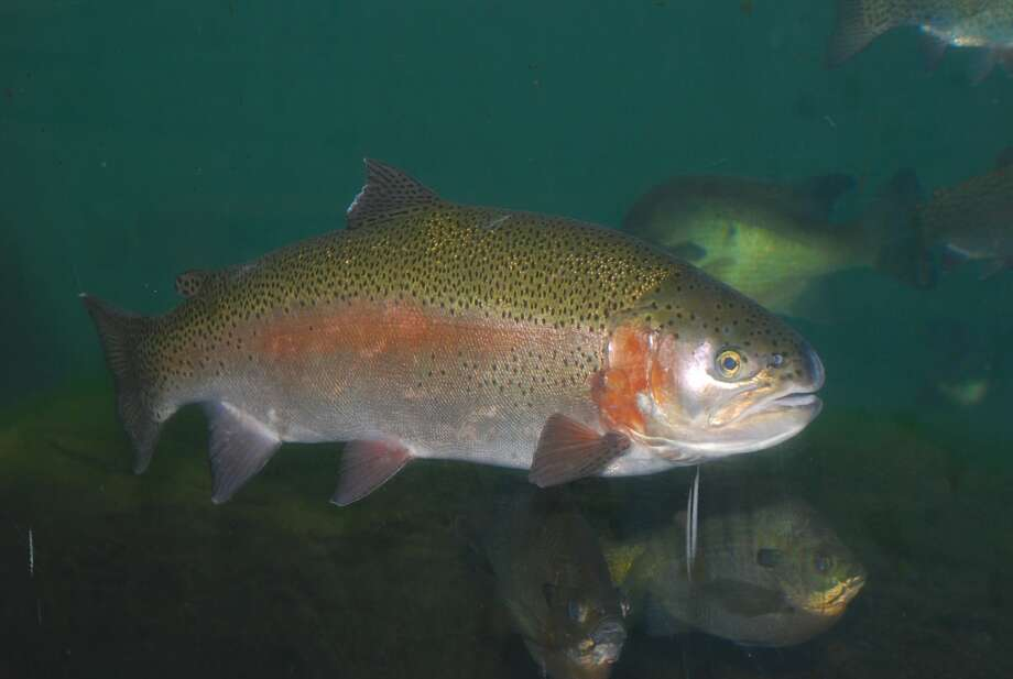 The Texas Parks and Wildlife Department will stock up four San Antonio rivers with rainbow trout from November through February. Photo: Larry D. Hodge