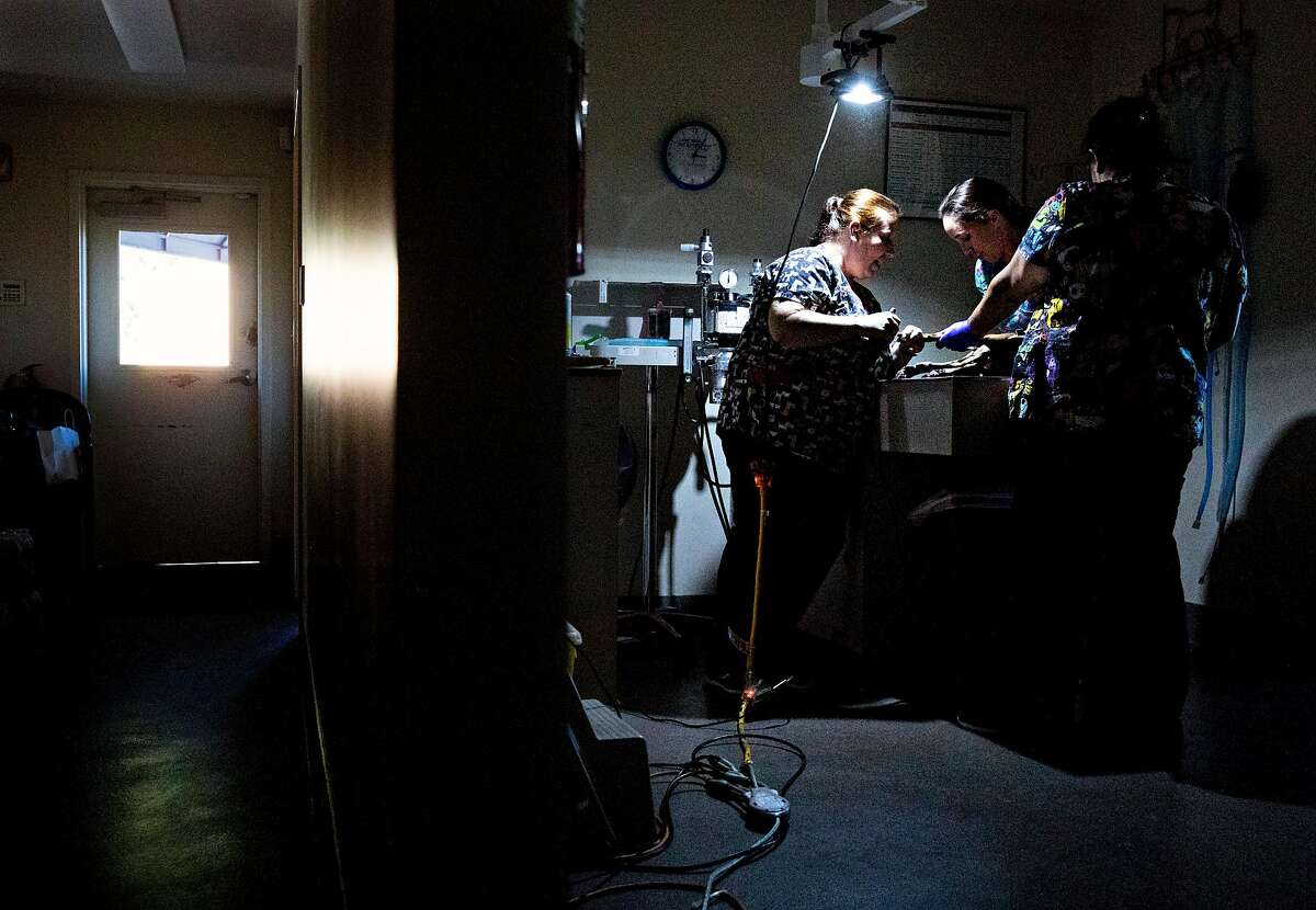Veterinary technician Jessica Haines performs a nail trimming under a single lamp powered by a portable generator at Silverado Veterinary Hospital in Napa, Calif. Wednesday, Oct. 9, 2019 following the first stage of PG&E Public Safety Power Shutoffs across Northern California.
