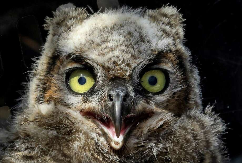 A baby great horned owl is seen at the Texas State Aquarium's Sealab facility, Wednesday, May 2, 2018, in Corpus Christi. Alyssa Barrett, a wildlife care manager at the aquarium, said the owl and its sibling were being fed using a large owl puppet. ( Jon Shapley / Houston Chronicle ) Photo: Jon Shapley, Houston Chronicle / Houston Chronicle / © 2018 Houston Chronicle
