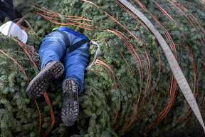 Mark Buchhorn buries himself Tuesday, Nov. 19, 2019, in the city's Christmas tree while trying to get to the trunk as he prepares for the tree's installation in Travis Park.