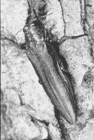 An emerald ash borer, a pest threatening ash trees in the state. Photo: JAMES. E. APPLEBY / UNIVERSITY OF ILLINOIS