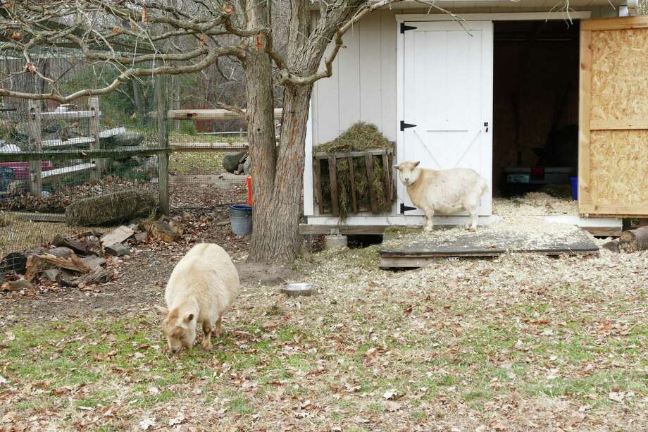 The goats at the New Canaan Nature Center are making themselves at home in their new and better digs or the other side of the donkey pen. It will be warmer in the winter and cooler in the summer. Photo: Grace Duffield / Hearst Connecticut Media