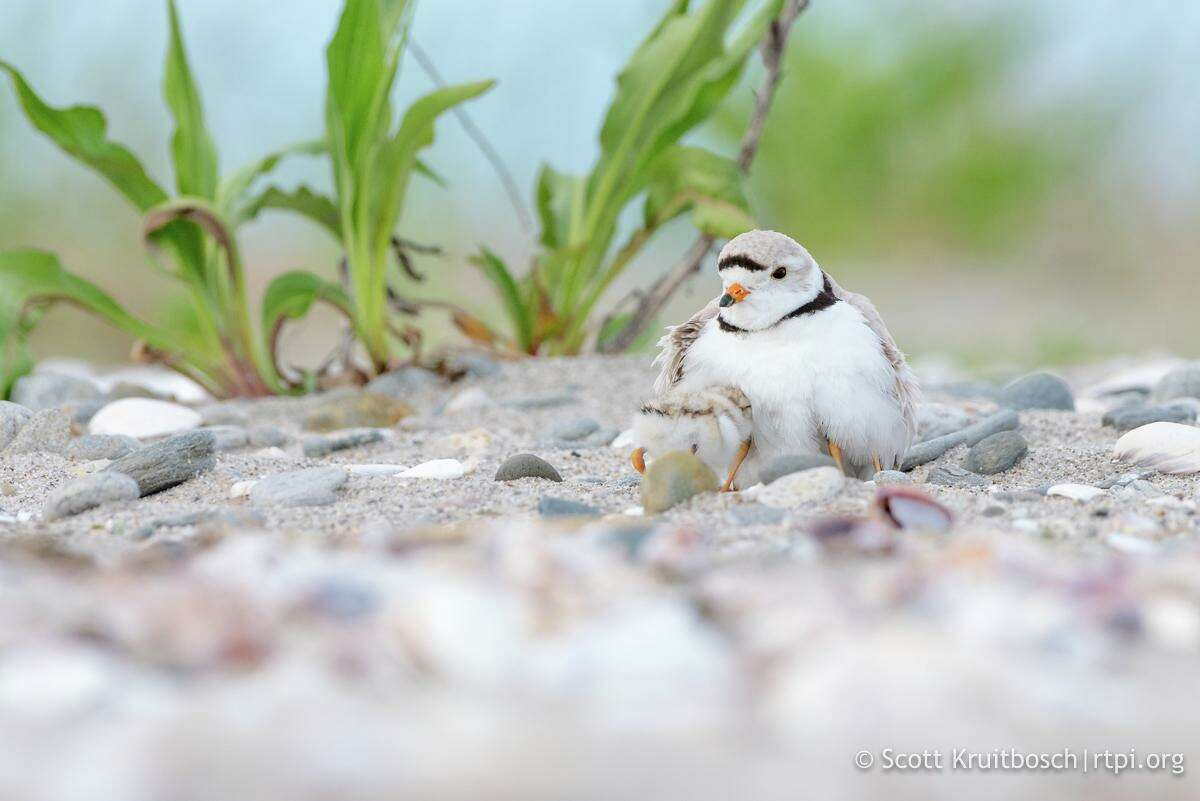 A piping plover with a chick
