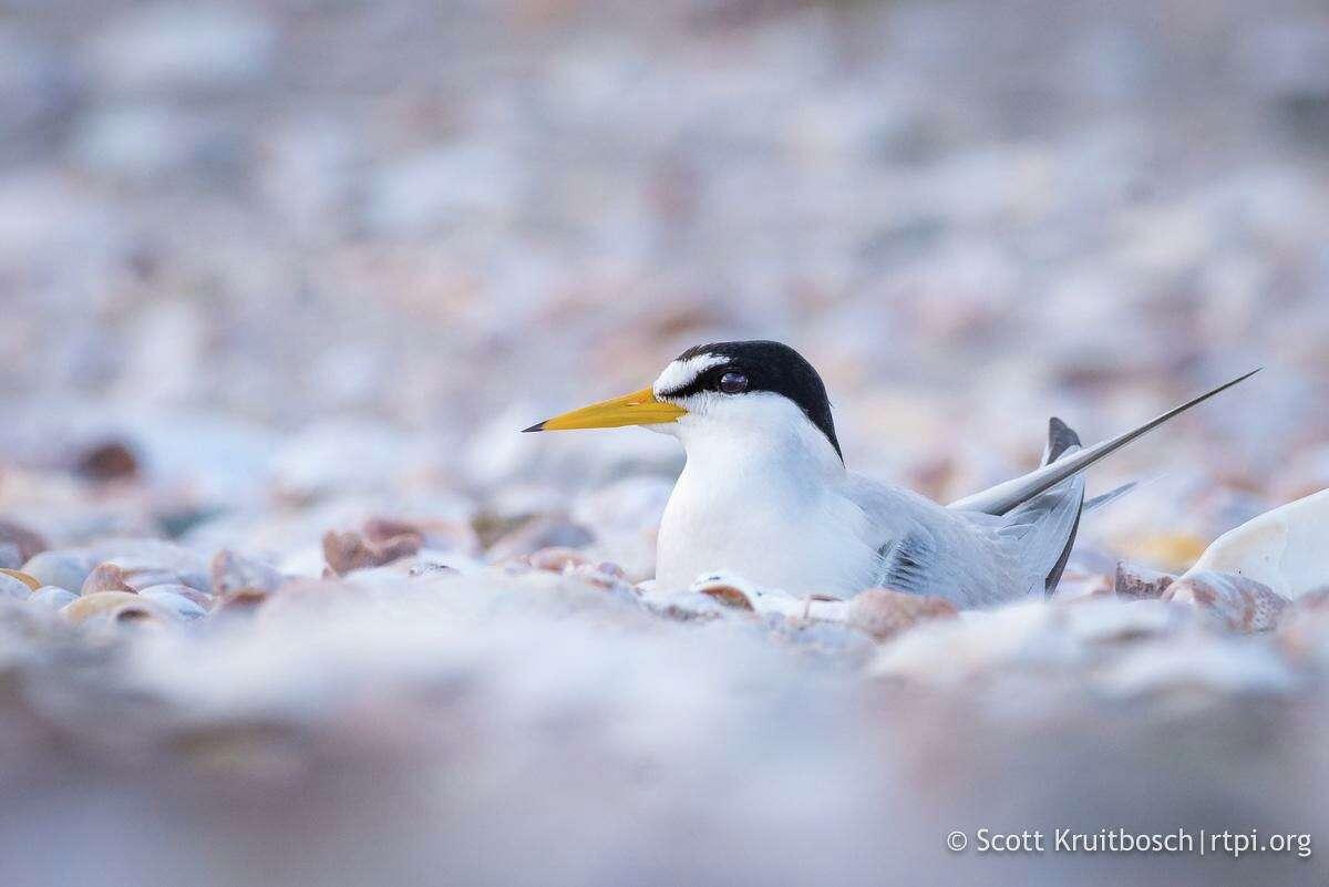 A least tern