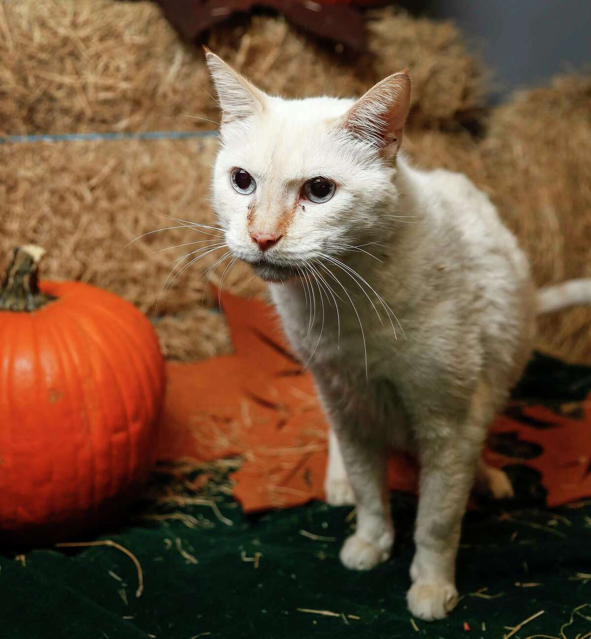 Valentin (ID: A1662321) is a 14-year-old, male, Flame Point Siamese cat available for adoption from BARC Animal Shelter. Photographed, Tuesday, Nov. 19, 2019, in Houston. Valentin was surrendered to the shelter with a senior dog by their own because they had gotten