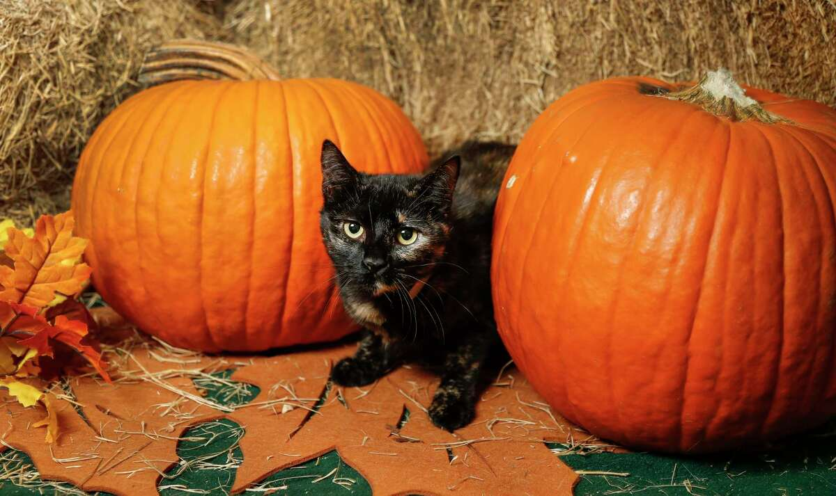 Willow (ID: A1663675) is a 7-month-old, female, Tortie cat available for adoption from BARC Animal Shelter. Photographed, Tuesday, Nov. 19, 2019, in Houston. Willow is a sweet and chill cat.