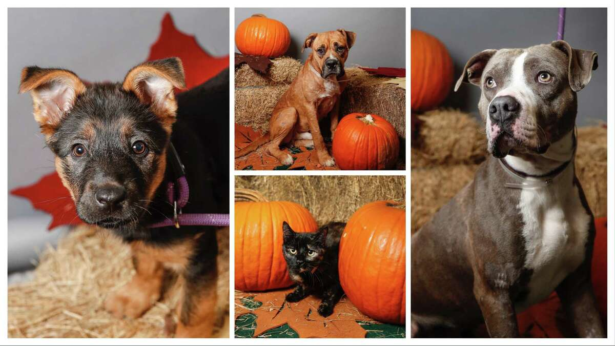 Mattie/Matilda (left: A1654602); Harry (top center: A1662073); Willow (bottom center: A1663675); and Churro (right: A1659726) are all available for adoption from BARC Animal Shelter. Photographed, Tuesday, Nov. 19, 2019, in Houston.