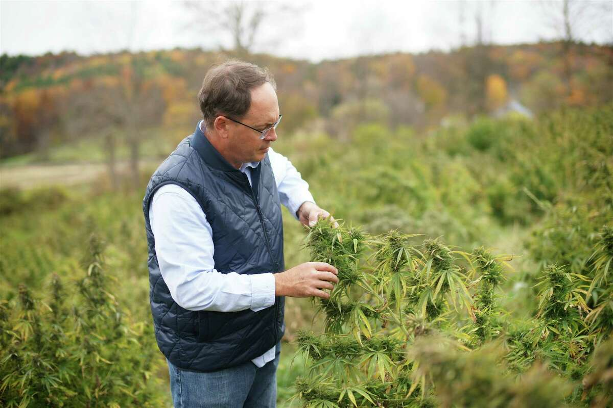 Rich Taylor, owner of R.S. Taylor & Sons Brewery in Salem, examines a hemp plant being grown in Washington County for his family's other business, LadnCraft Wellness, which makes products with CBD oil, an extract of hemp that is said to ease various ailments and promote general wellbeing. (Photo courtesty LandCraft Wellness.)