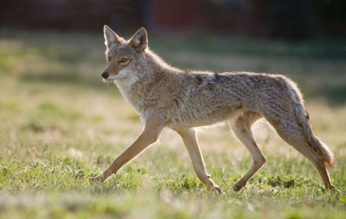 A file photo of a coyote, a species that thrives both in the wild and in suburban habitats. Coyotes sometimes team up with badgers to improve their hunting chances.