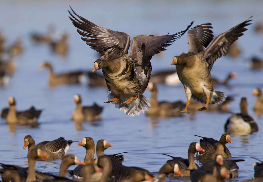 Two white-fronted geese, also called specks, land at the Sacramento National Wildlife Refuge complex. Photo: Mike Peters / Special To The Chronicle