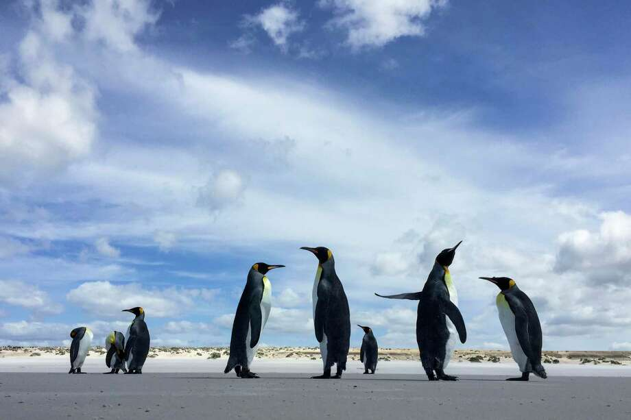 Animals - even king penguins - have rocky adolescent periods, just as humans do. Shown, king penguins on the beach on Feb. 12, 2016, on Volunteer Point in the Falkland Islands. Photo: Washington Post Photo By Jahi Chikwendiu / The Washington Post