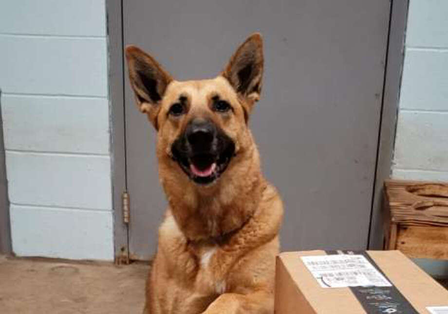 Found as a stray, Flash the dog was trained to be a police dog. She's been in the pound for two years. Photo: Photo: Submitted / Tom Mitchell