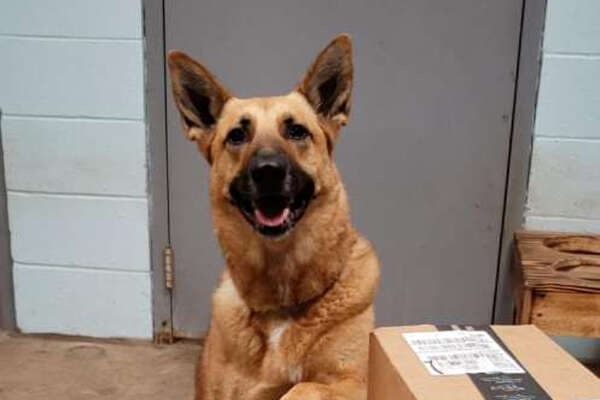 Found as a stray, Flash the dog was trained to be a police dog. She's been in the pound for two years.