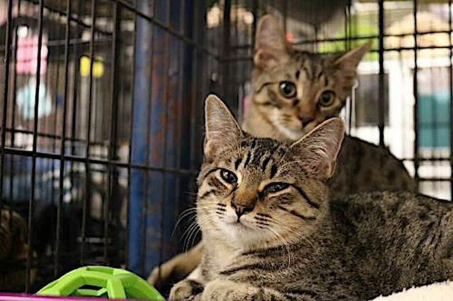 Reading to kittens and tabbies will be encouraged as author-centric Bethel's Byrd's Books hosts the Danbury Animal Welfare Society for a cat adoption morning at the bookstore on December 7. Pictured are Mahogany and Maple. For more pet adoptees, visit daws.org Photo: Byrd's Books / Contributed Photo