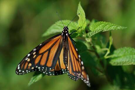 FILE - In this Monday, July 29, 2019 file photo a monarch butterfly rests on a plant at Abbott's Mill Nature Center in Milford, Del. Already at risk of extinction, the monarch butterflies that flutter through Texas on their way to Central Mexico face yet another formidable predator: deadly traffic. Millions of monarchs die on the state's highways as they collide with vehicles while flying low. (AP Photo/Carolyn Kaster, File)