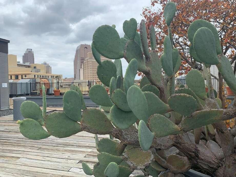Tuna cactus Photo: Taylor Pettaway