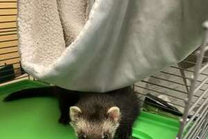 Seattle police took a ferret into custody after its owner threw it at security guards after allegedly stealing from a hardware store on Nov. 20, 2019.