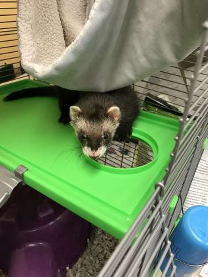 Seattle police took a ferret into custody after its owner threw it at security guards after allegedly stealing from a hardware store on Nov. 20, 2019. Photo: Seattle Police Department