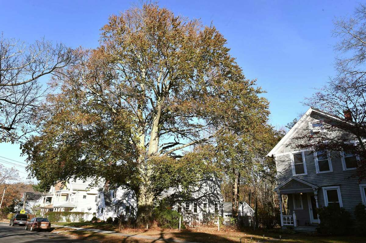 An expansive copper beech tree at 31 West Prospect St. in New Haven, across the street from where columnist Randall Beach lived for about seven years.
