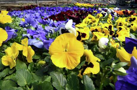 Blood meal will keep rabbits away from pansies, but it will attract dogs,