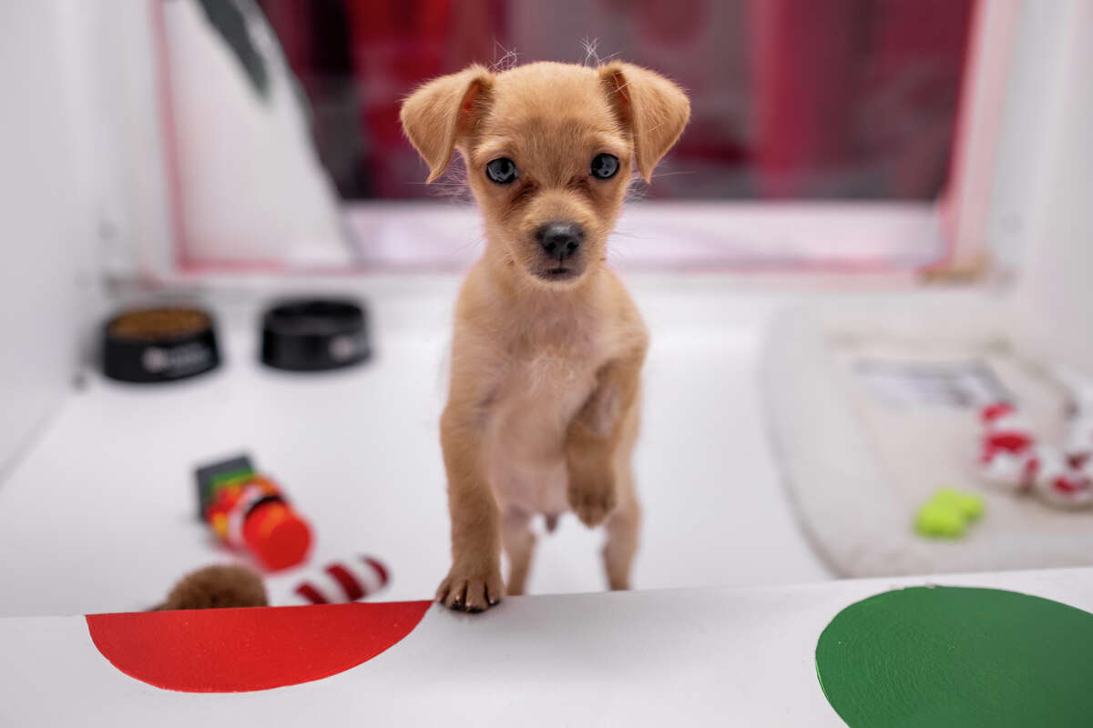 A puppy is displayed in Macy's Holiday Windows in San Francisco on Nov. 22, 2019.