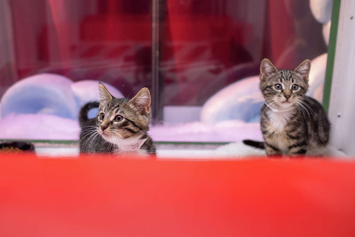 Kittens are displayed in Macy's Holiday Windows in San Francisco on Nov. 22, 2019.