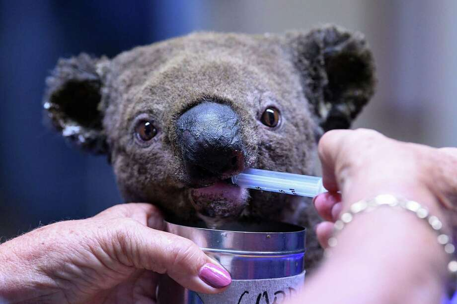A dehydrated and injured Koala receives treatment at the Port Macquarie Koala Hospital in Port Macquarie on November 2, 2019, after its rescue from a bushfire that has ravaged an area of over 2,000 hectares. - Hundreds of koalas are feared to have burned to death in an out-of-control bushfire on Australia's east coast, wildlife authorities said October 30. (Photo by SAEED KHAN / AFP) (Photo by SAEED KHAN/AFP via Getty Images) Photo: SAEED KHAN / AFP Via Getty Images / AFP or licensors