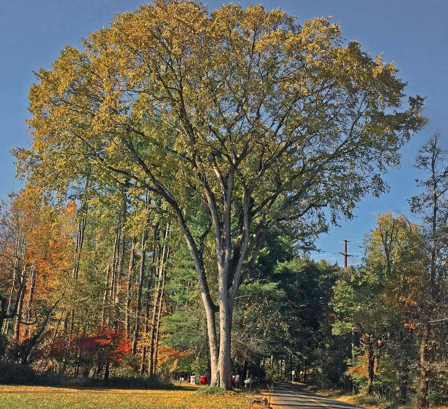 The Hamden Tree Commission recently named its November tree of the month, an American elm tree (Ulmus americana). Photo: Contributed Photo /