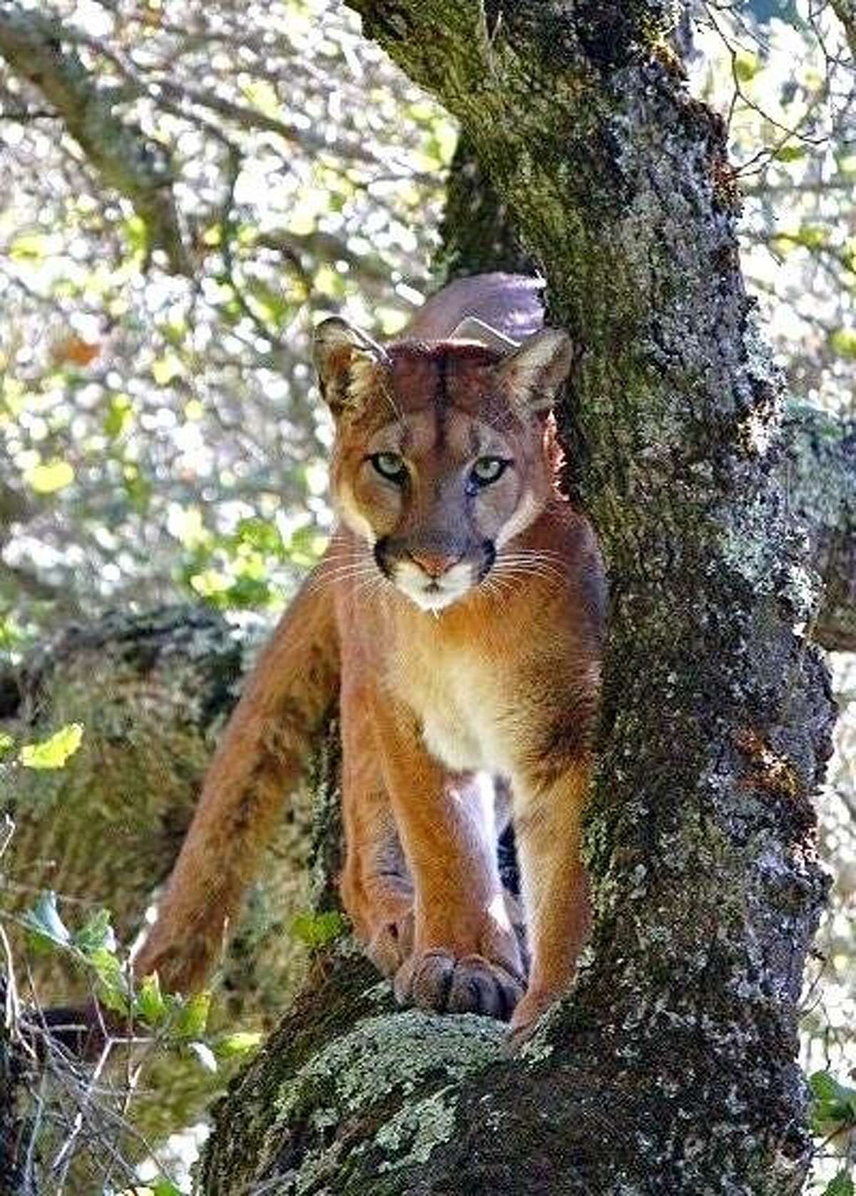 This mountain lion was caught on camera during the UC Santa Cruz study showing the level of fear predators display when human voices are heard in the area.