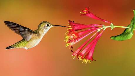 Hummingbirds have long, needle-like beaks that probe flowers to get energy from nectar.