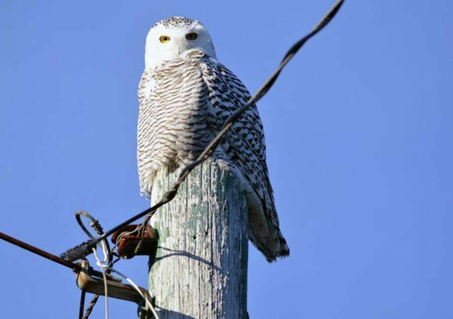 Snowy owls, like this young bird, often arrive in Michigan from northern areas around Thanksgiving, giving birdwatchers a thrill. This bird was photographed in Schoolcraft County. (Michigan DNR/Courtesy Photo)