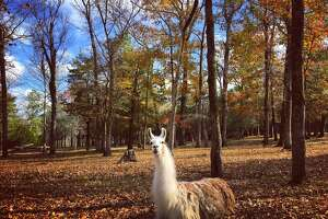 Bob the Llama was photographed on a ranch in Coldspring, a town in San Jacinto County, on Nov. 25, 2019.