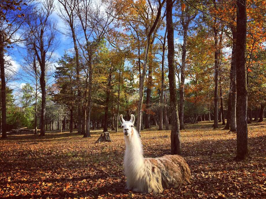 Bob the Llama was photographed on a ranch in Coldspring, a town in San Jacinto County, on Nov. 25, 2019. Photo: Courtesy/Casey Jackson