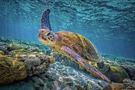 "A green sea turtle swims among corals in a scene from ""Great Barrier Reef,"" a new IMAX movie opening December 14 on the six-story screen of The Maritime Aquarium at Norwalk."