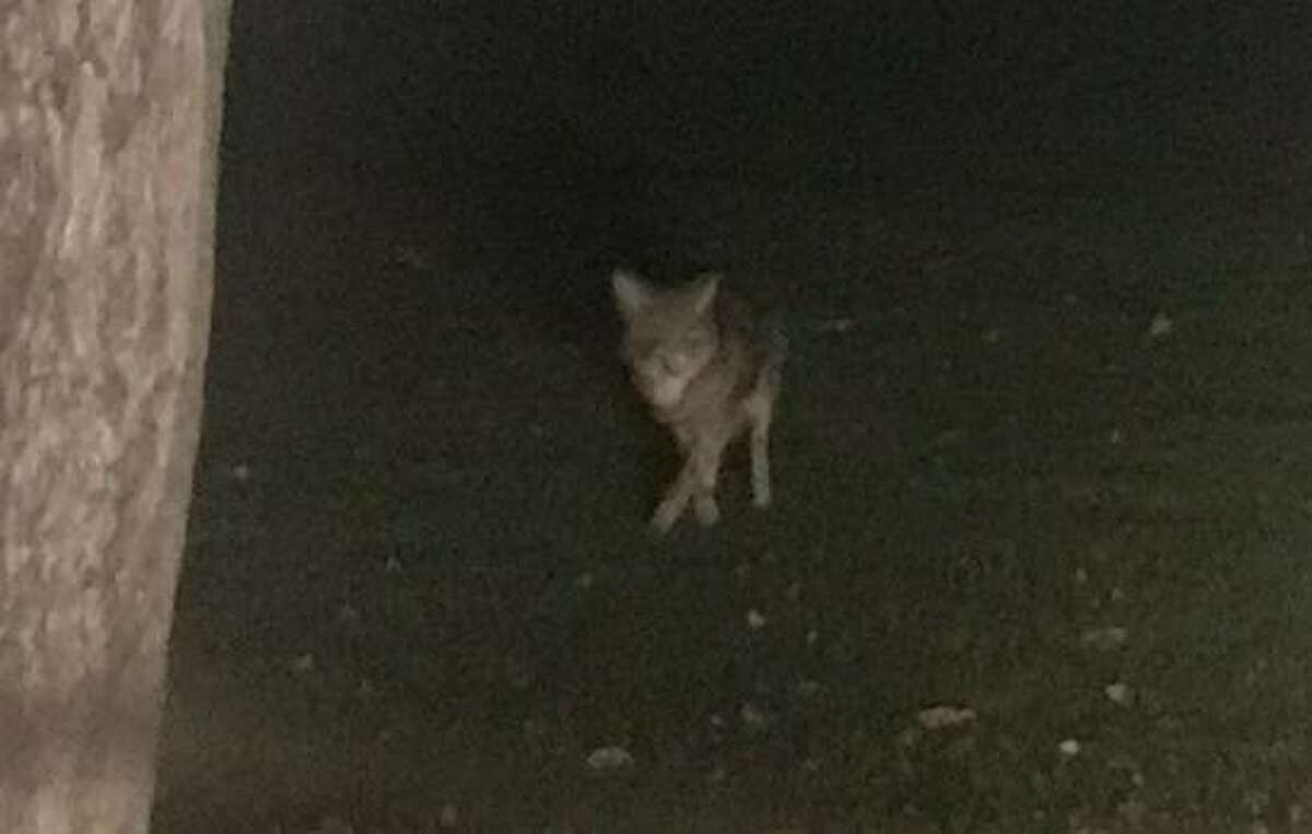 One of three coyotes spotted in the early evening at Loughlin Park in Cos Cob.