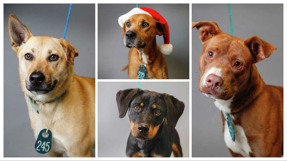 Cassy (left: A545916) is a 1 1/2-year-old, female, German Shepherd mix;  with Kobe (top: A546126) is a 6-year-old, male, Rhodesian Ridgeback mix; and Anne (bottom: A546242) is an adult, female, Rottweiler mix; along with Brian (right: A546277) is a 1 1/2-year-old, male, Labrador Retriever mix are all available for adoption from the Harris County Animal Shelter. Photographed, Tuesday, Nov. 26, 2019, in Houston. Photo: Karen Warren, Staff Photographer / © 2019 Houston Chronicle