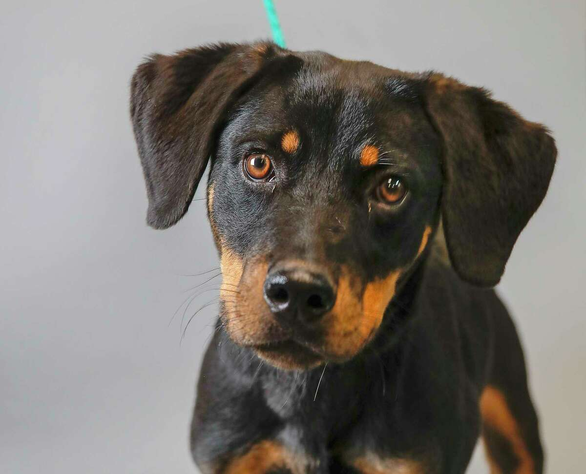 Anne (ID: A546242) is an adult, female, Rottweiler mix available for adoption from the Harris County Animal Shelter. Photographed, Tuesday, Nov. 26, 2019, in Houston. Anne was brought into the shelter after a couple witnessed her being thrown out of a truck. She is a dream, she knows how to sit and stay, loves to play with squeaky toys and adores attention.