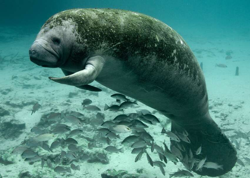West Indian manatee - Scientific name: Trichechus manatus- Other states with species: Alabama, Florida, Georgia, Louisiana, Mississippi, North Carolina, Texas- IUCN category: Vulnerable
