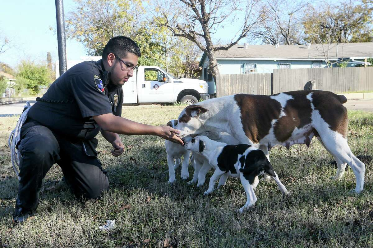 Animal Care Officer Robert Lopez makes initial contact with a stray dog and her four puppies discovered on Quintana Road while making his rounds on the Southwest Side in December 2017. A new study conducted this year shows that up to 96 percent of the dogs loose on the streets of San Antonio actually belong to somebody.